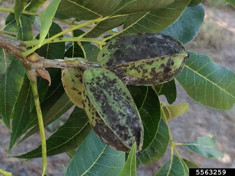 pecans with black spots on husks
